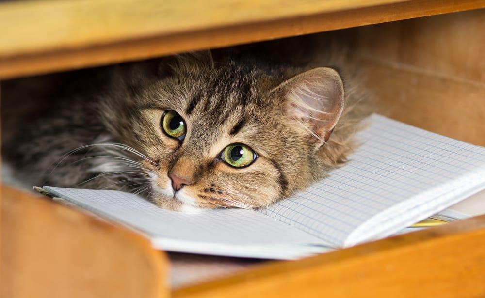 Расслабляющая музыка может успокоить кошачьего питомца.