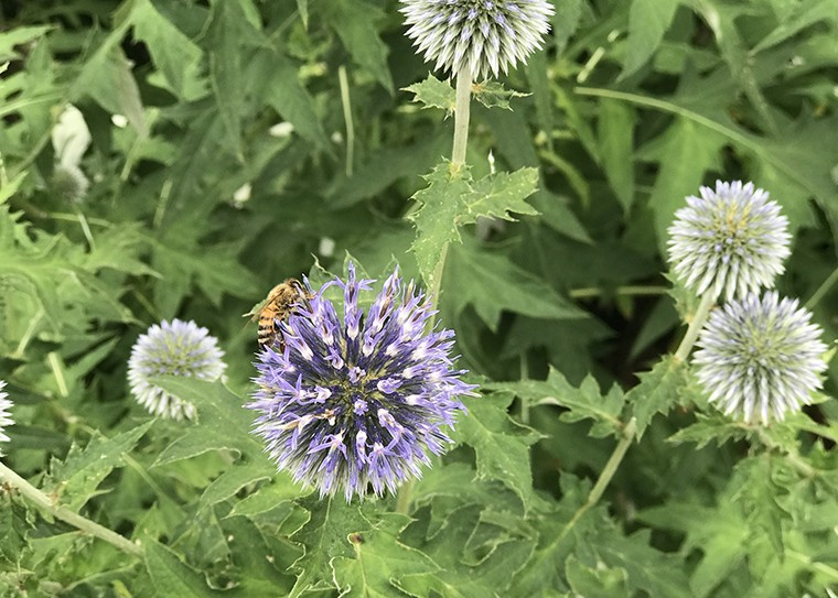 Медоносные пчелы отличают друга от врага с помощью кишечных бактерий.